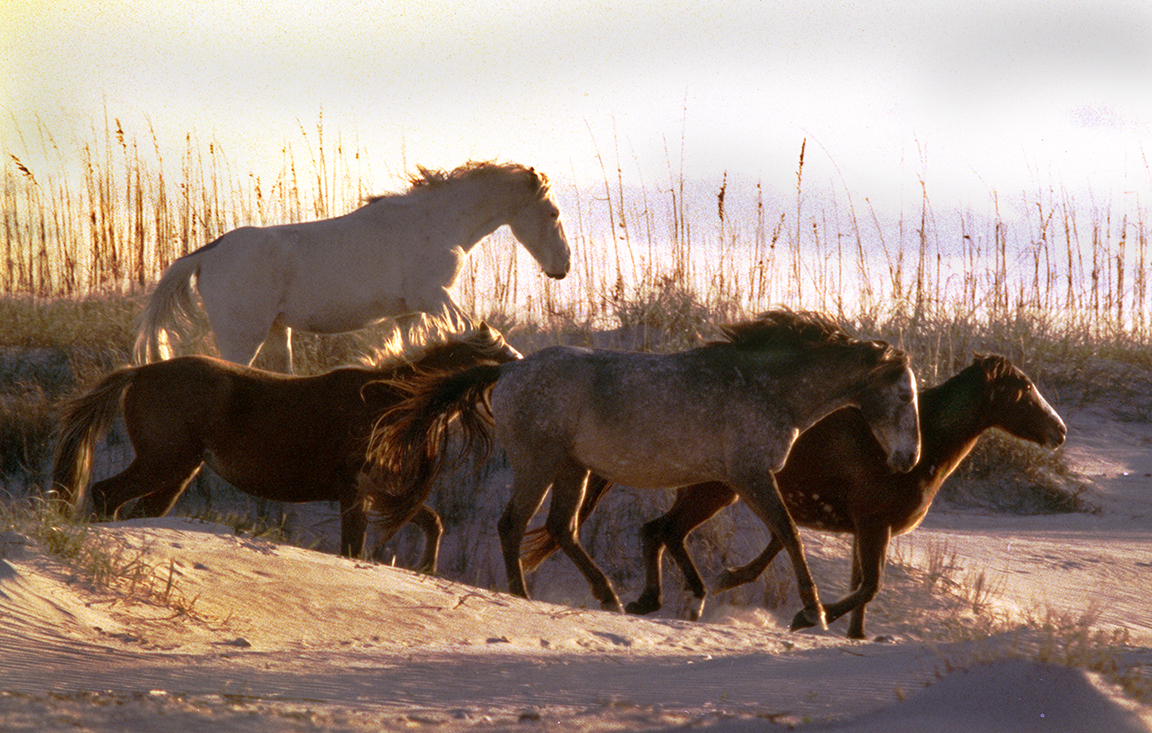 Horses on Cumberland Island